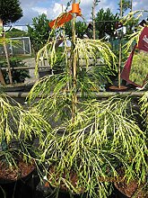 Chamaecyparis lawsoniana Karaca - Scheinzypresse