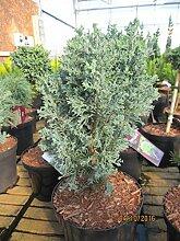 Chamaecyparis lawsoniana Matthijs - Scheinzypresse