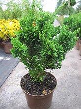Chamaecyparis lawsoniana Wisselii 20-30 cm - Form