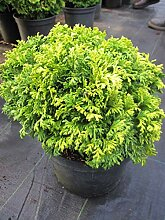 Chamaecyparis pisifera 'Nana' -