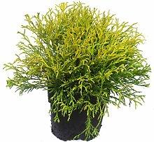 Chamaecyparis pisifera filifera aurea nana - Gelbe