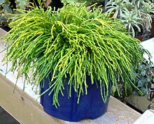 Chamaecyparis pisifera filifera nana - Grüne