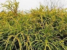 Chamaecyparis pisifera Sungold (Gelbe