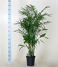 Chamaedorea seifrizii 140-160 cm Bambuspalme