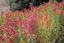 Chenopodium Quinoa Pflanze Samen- Regenbogen -Hot