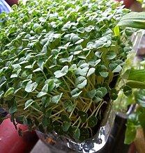 Chia Salvia hispanica 1000 Samen