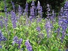 Chia- Salvia Hispanica- 250 Samen-