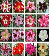 Chia Tai 10 gemischte Adenium Desert Rose Samen
