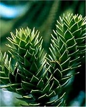 Chilenische Schmucktanne Andentanne 60-70cm -