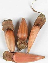 Chilenische Schmucktanne Araucaria araucana 4 Samen