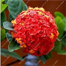 ChinaMarket 120 Stück Hydrangea Blumensamen Rote