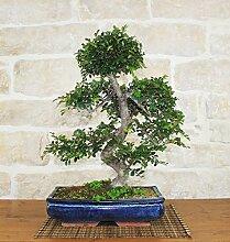 Chinese Elm bonsai tree (43)