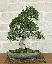 Chinese Elm bonsai tree (45)