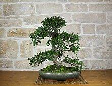 Chinese Elm bonsai tree (48)