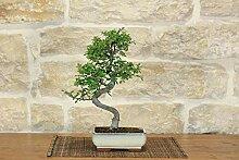 Chinese Elm bonsai tree (53)