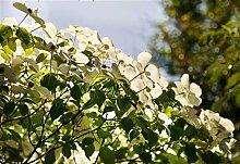 Chinesicher Blumen-Hartriegel Cornus kousa