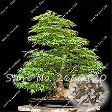 Chinesische Grüne Ahorn Samen, natürliche