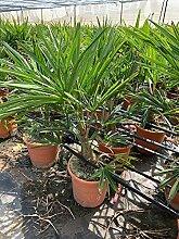 Chinesische Hanfpalme 100 cm Trachycarpus fortunei