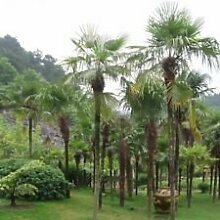 Chinesische Hanfpalme Trachycarpus Fortunei 5,10
