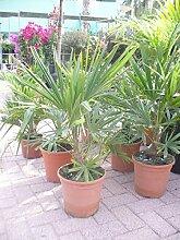 Chinesische Hanfpalme - Trachycarpus fortunei