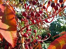 Chinesische Pistazie Pistacia chinensis Pflanze