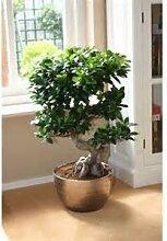 Chinesische Rare Ficus Feige Tree Seeds 100China