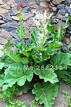 Chinesische Rhabarber Samen Nicht-GVO-Medizin Süße Gemüse Bonsai Pflanze Ziergarten Planta Semillars De Flores 100 PC-13