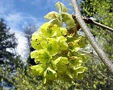 Chinesische Scheinhasel Corylopsis sinensis