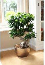 Chinesische Seltene Chinesische Feige-Baum-Samen, China Roots Sementes Bonsai Ginseng Banyan Garten-Baum im Freien Pflanzer - 5pcs / lo