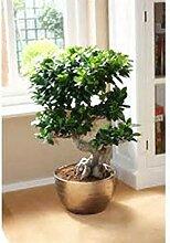 Chinesische Seltene Chinesische Feige-Baum-Samen,