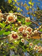 Chinesische Winterblüte Chimonanthus praecox