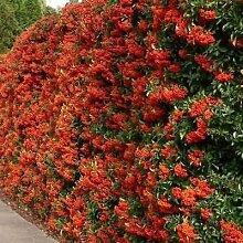 Chinesischer Feuerdorn Bush Seeds (Pyracantha