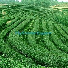 Chinesischer grüner Tee-Baum-Samen 20pcs / bag
