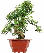 Chinesischer Liguster, Bonsai, 13 Jahre, 57cm
