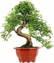 Chinesischer Liguster, Bonsai, 13 Jahre, 61cm