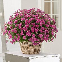 Chrysantheme in Violett im Korb