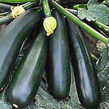 CHTING 10 Stück Zucchini Samen Sommerkürbis