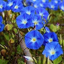 CHTING 100 Stück Blue Morning Glory Samen Schöne