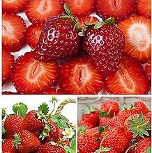 CHTING 100 Stück Rot Süß Duftend Saftig Erdbeer