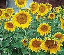 CHTING 100 Stück Sonnenblumenkerne Einjährige
