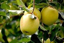 CHTING 150 Stück Apfel Saat Dekorieren Sie den