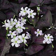 CHTING Oxalis-Blumenzwiebeln für Gewächshaus,