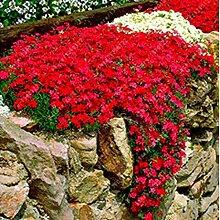 Cioler 100 Stück Felsenkresse Kletterpflanze