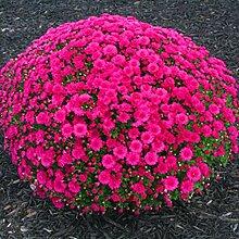 Cioler 100pcs Chrysantheme Samen Bodendecker