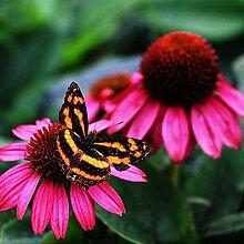 Cioler 50 Samen Echinacea Samen Gänseblümchen