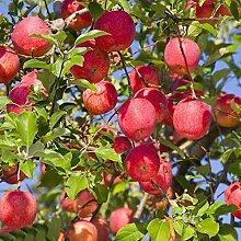 Cioler Apfelbaum Samen Fruchtsamen Rate Red