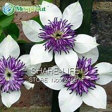 Clematis, Clematis-Blumen, Kletterpflanze Kletterpflanze Clematis Samen - 100 Stück Samen / bag