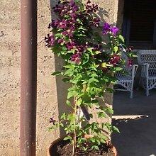 Clematis Etoile Violette (Waldrebe) Kletterpflanze