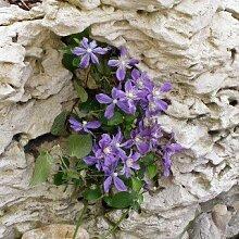 Clematis integrifolia 'Arabella' - Mehrjährige Kletterpflanze