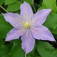 Clematis Justa (Waldrebe) Kletterpflanze (1,5